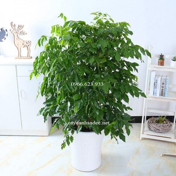 cay-hanh-phuc-gia-bao-nhieu Chưng cây hạnh phúc mini, mọi điều đều hạnh phúc như ý