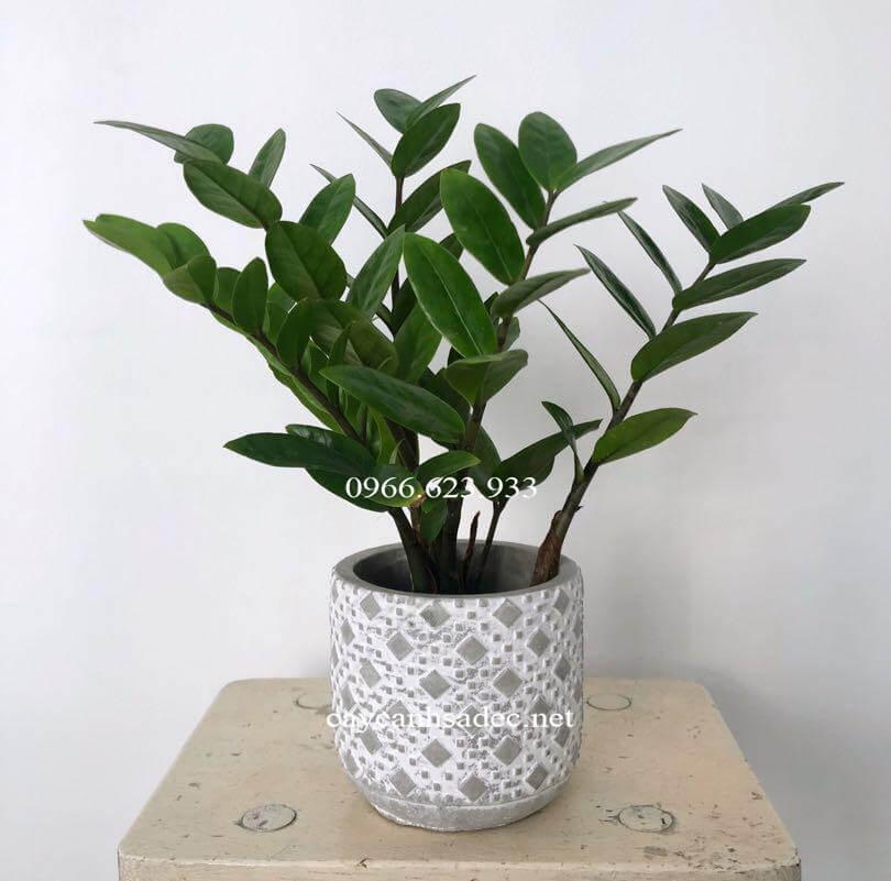 cay-kim-tien-de-ban-caycanhsadec-1 Cách trồng cây kim tiền đúng cách - cây cảnh Sa Đéc - Cây văn phòng