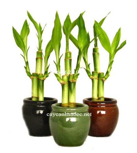 cay-phat-loc-cay-chung-tet Chọn mua cây phát lộc mang lại tài lộc cho gia chủ