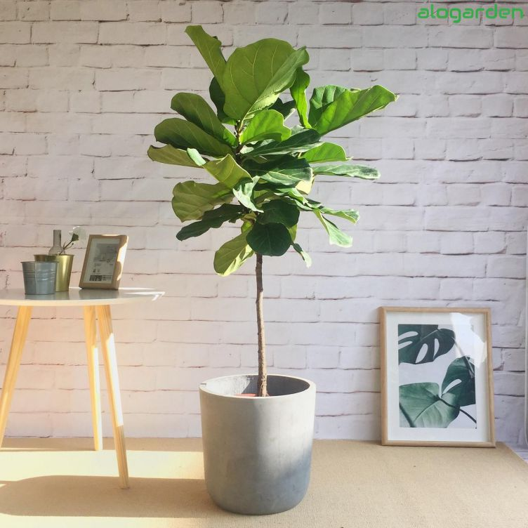 cay-bang-singapore-caycanhsadec Cây bàng Singapore - Vẻ đẹp cho nội thất nhà bạn