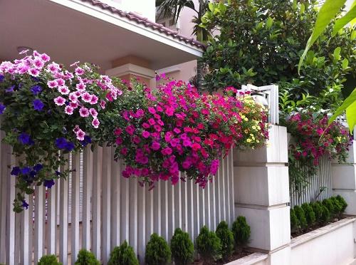 hoa-da-yen-thao Cách chăm hoa dạ yến thảo ra hoa quanh năm